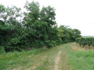 ILOK...Bagremova šuma na 9914m2...blizina Principovca.